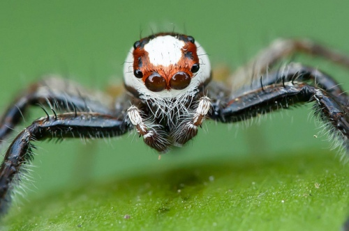 Telamonia spider. Photo by Rushen, published under Creative Commons license.