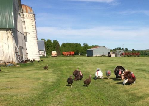 barnyard flock