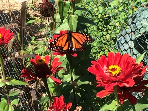 Monarchs loved the bright red zinnias in the Merriam Station Community Garden