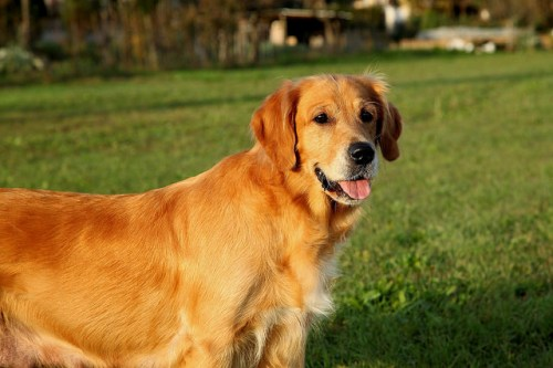 Photo of golden retriever by Franco Vannini, published under Creative Commons license